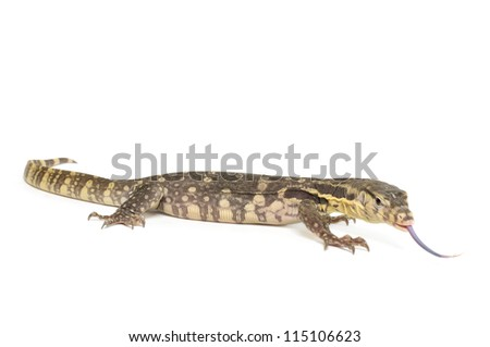 Indonesian Water Monitor on white background