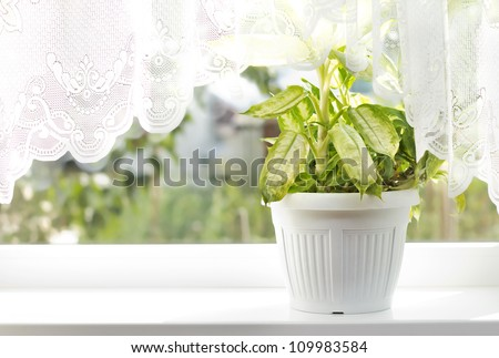 Indoor flower on the windowsill. white vase, pot. curtains, tulle - stock photo