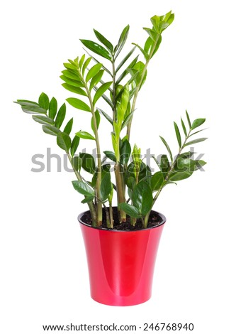 Indoor flower Zamioculcas in a pot of red color isolated on white background - stock photo