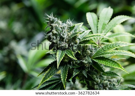 Indoor Marijuana bud under lights. Cola, Calyx, Trichome, and Pistil, and leaves are visible - stock photo