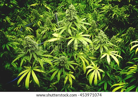 Ganja Stock Images Royalty Free Images Amp Vectors