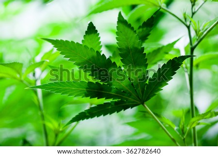 Indoor Marijuana leaf. Shallow depth of field, background style image - stock photo