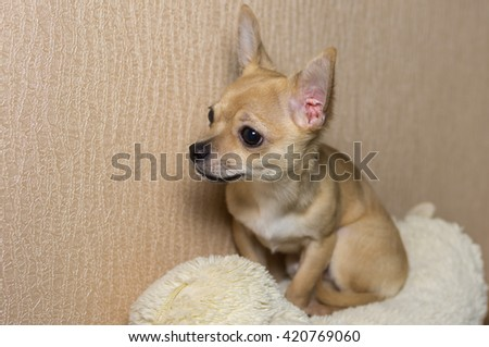 Indoor portrait of curious Chihuahua puppy (5,5 month old) sitting on a sofa - stock photo