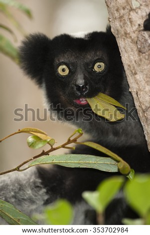 Indri Lemur, Indri indri, eating and moving in the trees, Madagascar - stock photo
