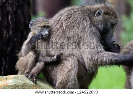 Infant chacma baboon leaning against its mother who is busy grooming - stock photo