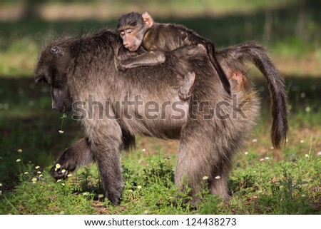 Infant chacma baboon riding on mom's back and sleeping