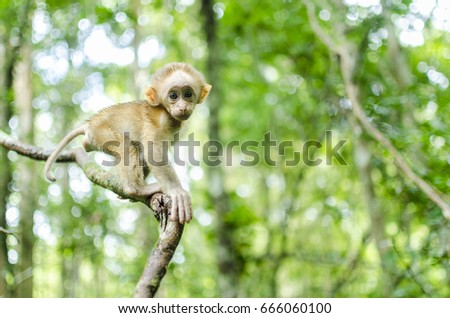 infant monkey ,infant assam