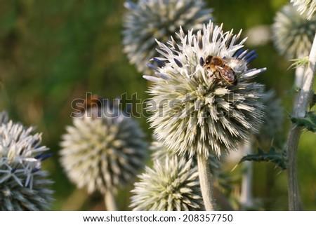 inflorescence Echinops horizontal close up outdoors  - stock photo