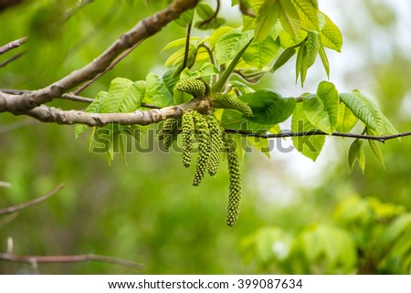 Inflorescence of blossoming birch closeup on a spring day. Beginning of new life. Birch catkins with green leaves at tree branches. Birch Tree Blossoms. Spring background with branch of birch catkins - stock photo
