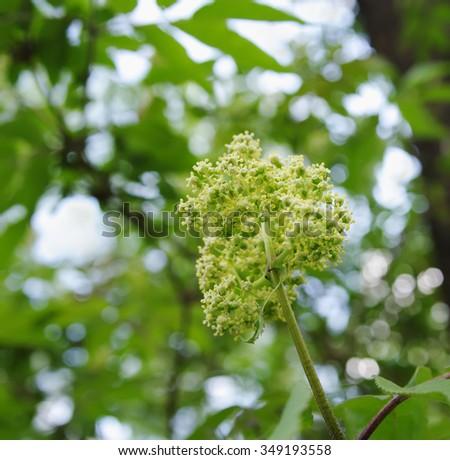 inflorescence of red elder (lat. Sambucus racemosa) closeup, local focus, shallow DOF - stock photo