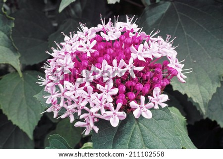 inflorescence with open flowers and buds of Clerodendrum bungei - stock photo