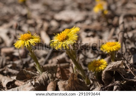 Inflorescences coltsfoot Tussilago farfara on a background of fallen leaves in early spring. The photo was taken in the mountain forests of the Caucasus