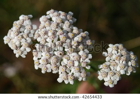 inflorescences of light-coloured milfoil flowers - stock photo
