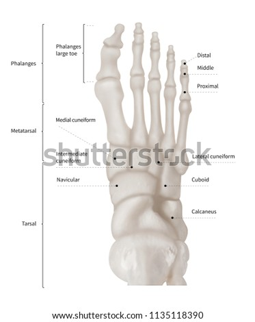 Infographic Diagram Human Foot Bone Anatomy Stock Illustration