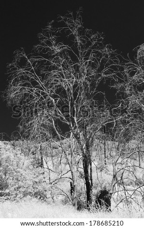 Infrared image of a tree at the Cleveland National Forest, CA - stock photo