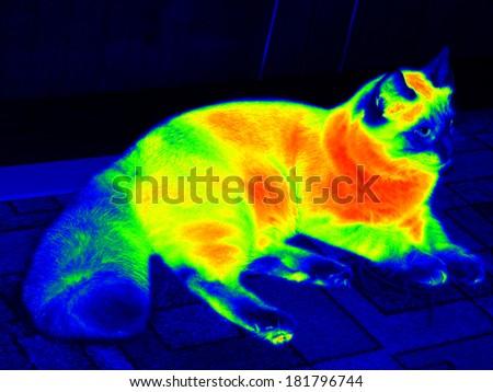 Infrared ragdoll cat - stock photo