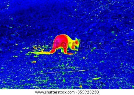 Infrared thermovision image of the kangaroo on the cold rocky ground showing warm part of the body - stock photo