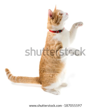 inger cat in the red collar sits on his hind legs, front air
