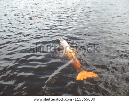 Inia geoffrensis, commonly known as the Amazon river dolphin, is a freshwater river dolphin endemic to the Orinoco, Amazon and Araguaia/Tocantins River systems of Brazil - stock photo