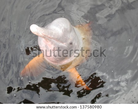 Inia geoffrensis, commonly known as the Amazon river dolphin, is a freshwater river dolphin endemic to the Orinoco, Amazon - stock photo