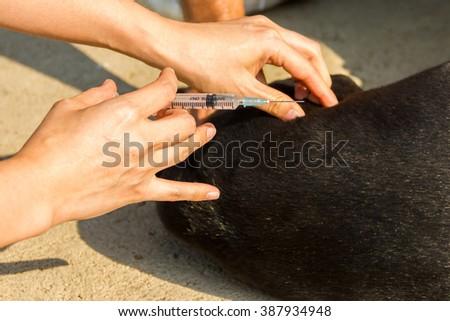 Injecting dog at fieldwork on sunlight. - stock photo