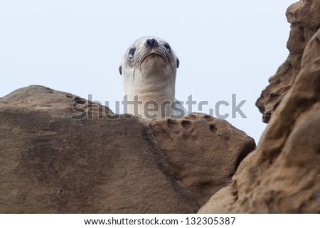 Injured Baby Sea Lion.  This is an image of an injured baby sea lion sitting on the rocks taken in Laguna Beach, CA.