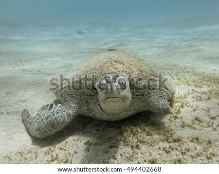 Injured green sea turtle. Marine Life in the Red Sea. Egypt