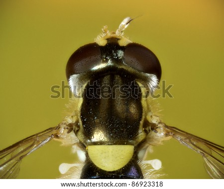 Injured hoverfly overhead closeup