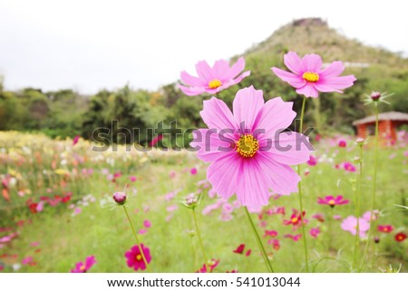 ink cosmos flower in the park