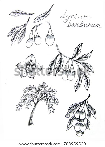 Ink sketches of Chinese desert-thorn, Goji - berry, flowers, branches on white background
