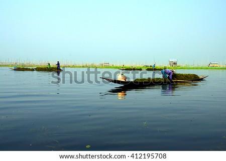 INLE LAKE, MYANMAR - MAR 1, 2015 - Famer collects lake grass seaweed to fertilize his floating garden on  Inle Lake,  Myanmar (Burma) - stock photo
