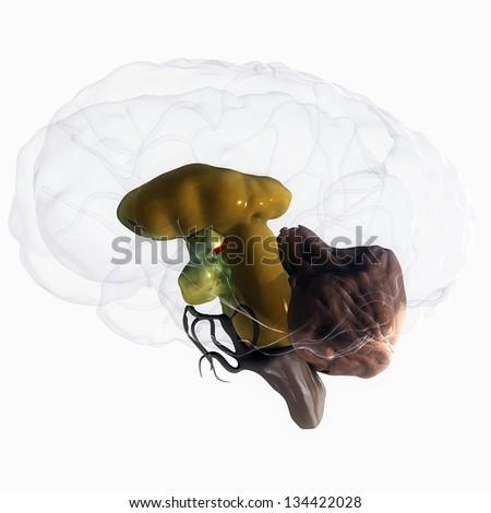 Inner Brain Structure Anatomy - stock photo