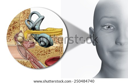 inner ear - stock photo