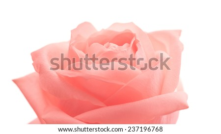 Innocence (single soft rose against white background) - stock photo
