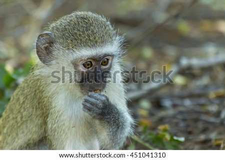 Innocent baby vervet monkey eating a seed in the bush