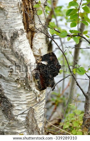 Inonotus obliquus, commonly known as chaga mushroom, is fungus in Hymenochaetaceae family