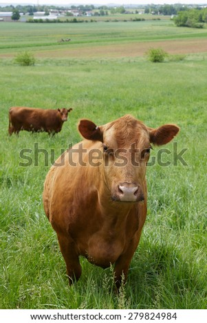 Inquisitive brown cow in meadow. - stock photo