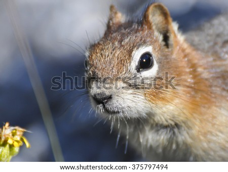 Inquisitive chipmunk in the Canadian Rockies.