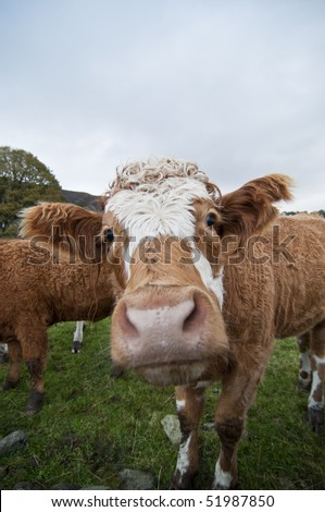 Inquisitive cow looking at camera