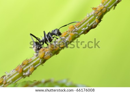 insect ant and aphid