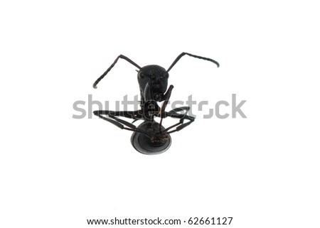 insect ant isolated on white background