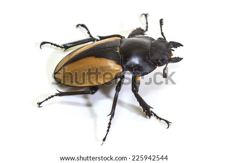 insect, beetle, bug, in genus Odontolabis on white background - stock photo