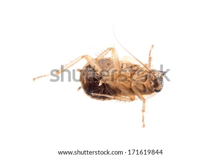 insect cockroach pest bug , isolated on white. - stock photo