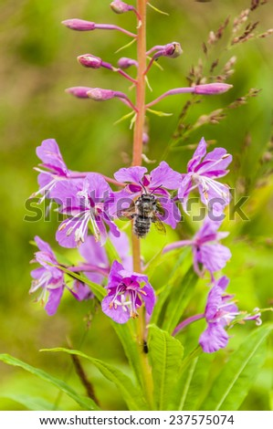 Insect collects nectar from a flower Chamaenerion angustifolium  - stock photo
