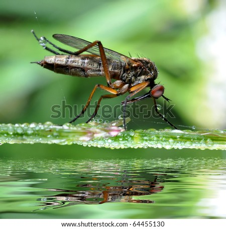 insect Empis tesselata sitting on dewy grass - stock photo