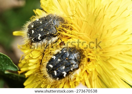 Insect in dandelion flower - stock photo