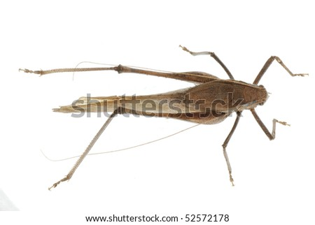 insect katydid isolated - stock photo