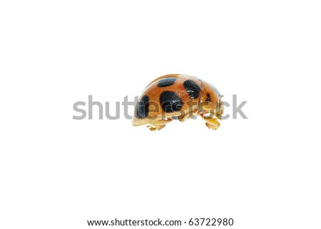 insect lady bird macro isolated on white background