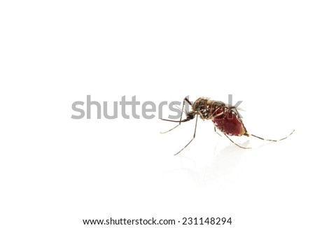 Insect Mosquito isolated on white background - stock photo