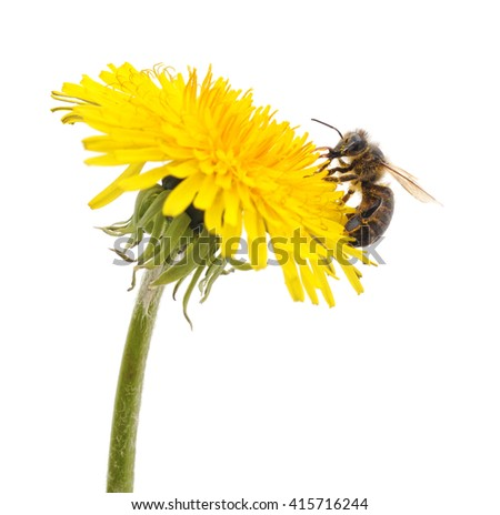 Insect on dandelion isolated on a white background. - stock photo